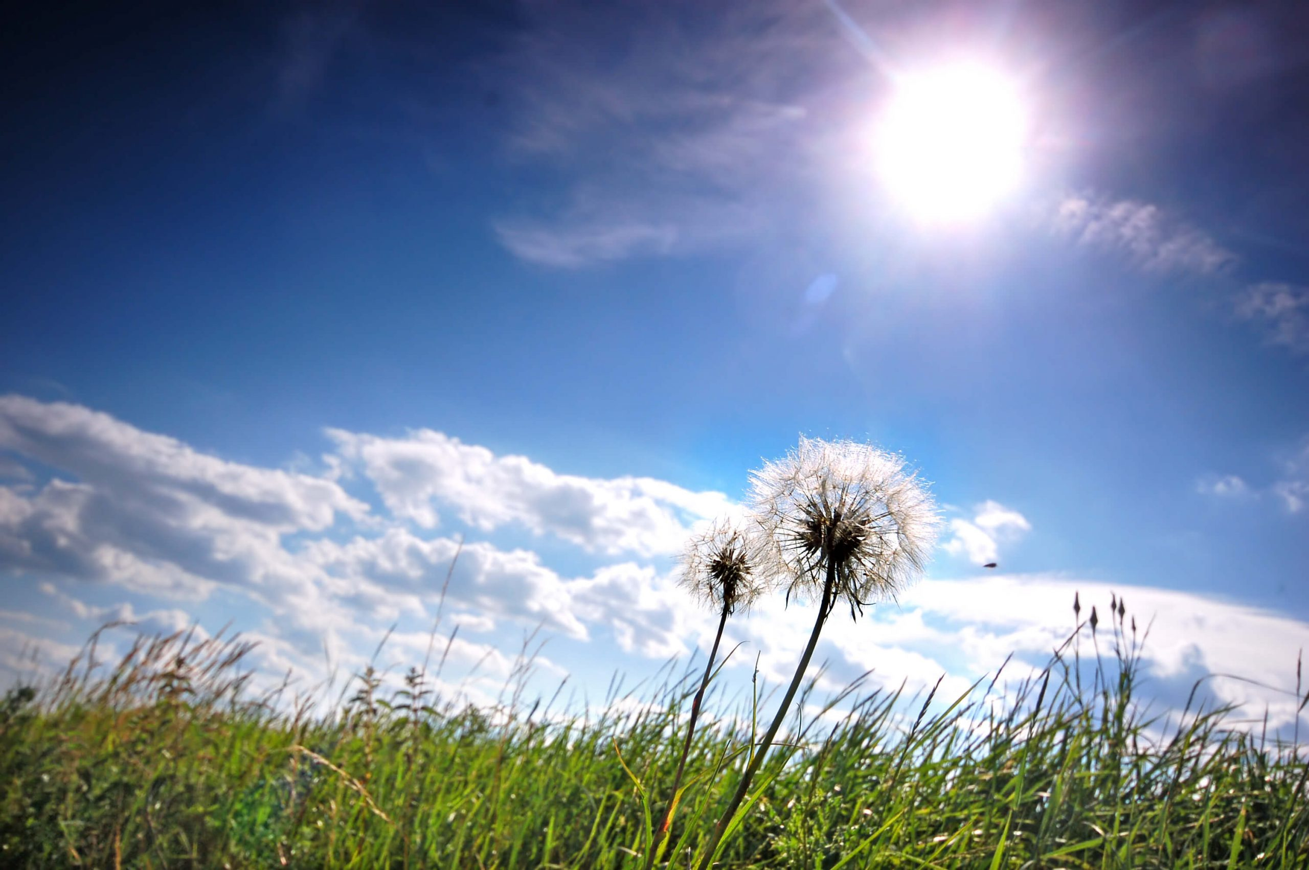 Dandelions in a meadow on a sunny day.