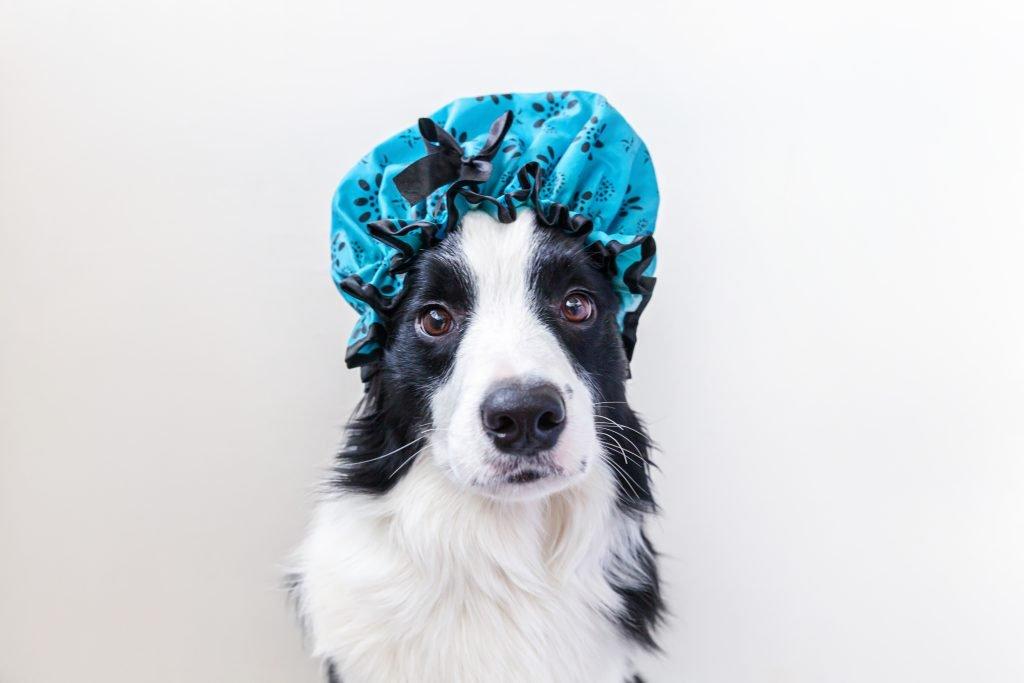 Border collie wearing a blue shower cap.